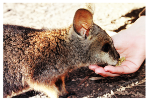 Baby Wallaby by The-Nutkase