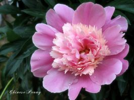 Chinese Peony by Chromius