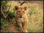 baby lion by thescal