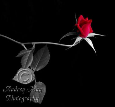 Selective Color Rose by AudreyMayPhotography