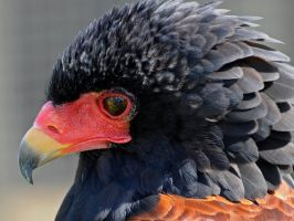Bateleur Reflections.. by quaddie
