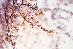 Hello Spring - Day 69 by rosannabell