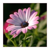 African Daisy by dove-51