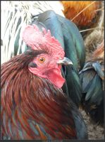 Animal Stock - Rooster 14 by shelldevil