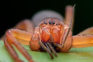 Orange Huntsman Spider with prey. by melvynyeo