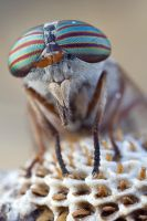 Tabanus Sp by buleria