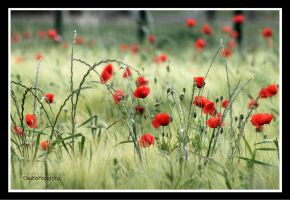 Poppies sea by declaudi