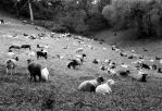 Sheep on Film by DuffyGraham