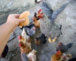 Chickens jumping for bread by 0-Vla-0