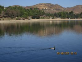 Mallard at castaic lake lagoon by Jdogg661