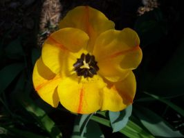 tulip 6 by EverydayStock