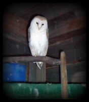Barn Owl III 295 by caybeach