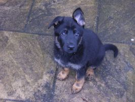 German Shepherd Puppy by WarlordPete