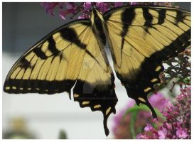 Giant SwallowTail by SweetSuisen