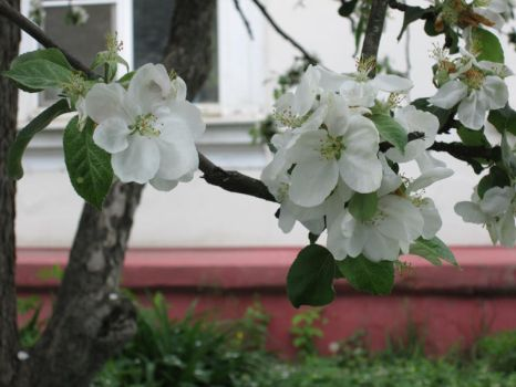 Apple blossoms 1 by Eriseite