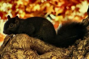 Black Squirrel by MacroMagnificent