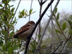 Sparrow in the Fog by Lupsiberg