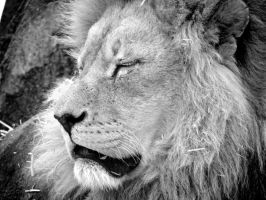 Black and White Lion by allykat