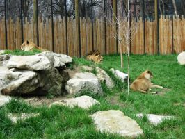 Lion 1 -- Aug 2009 by pricecw-stock