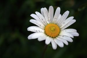 flower for you by iacobvasile
