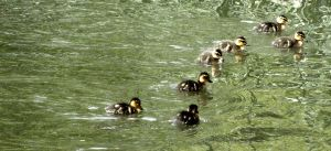 Ducklings by Ionday