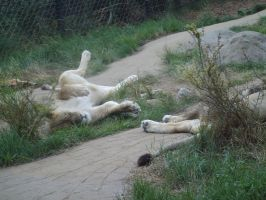 Colchester Zoo photos 6 by pan77155