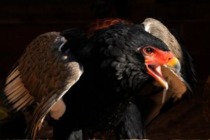 Bateleur Up Close. by quaddie