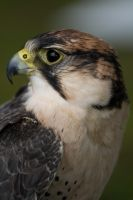 Bird of prey 11 by Random-Acts-Stock