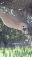 Nemo the Moluccan Cockatoo 4 by CalicoWoolfe