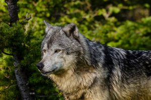 Yellowstone Wolf II by White-Voodoo