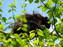Porcupine in a birch tree by imonline