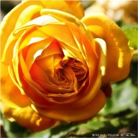 Rose but Yellow by Marcello-Paoli
