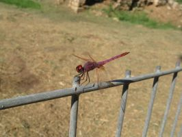 Dragonfly by GeshemStock