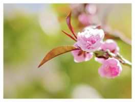 Peach Blossom by OverTheLazyDog