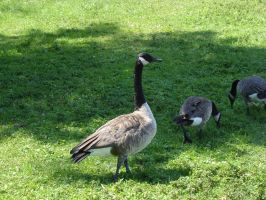 Canada Geese 002 by presterjohn1