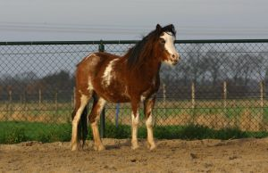 spotted welsh pony stock by Visibre
