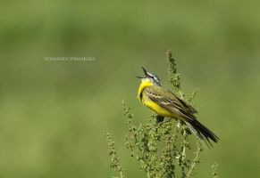 Yellow wagtail by xstarkiller