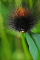 Wooly Caterpillar by Enkased