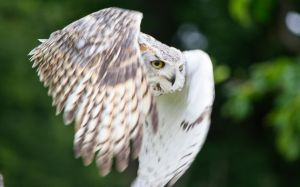 Horned Owl Mid Flight by Gareque