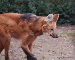 maned wolf 2 by KIARAsART