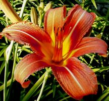 day lily by simplelines
