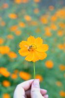 Fall Cosmos - 02 by caffinefreek