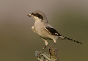Poised -Southern Grey Shrike by Jamie-MacArthur