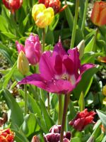 tulips 2 by remmy77