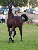 TW arab canter front on head up by Chunga-Stock