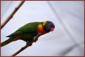 Lorikeet by Phantom303