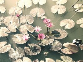 WV lotuses from another age by Swaroop