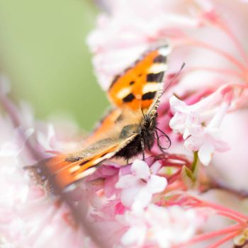 Small tortoiseshell (Aglais urticae) I by paschlewwer