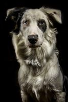 Border Collie by FoxeyePhoto