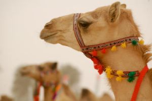 camel beauty by Roudha92